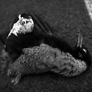 A dead Magpie bird on the road in Victoria, Australia