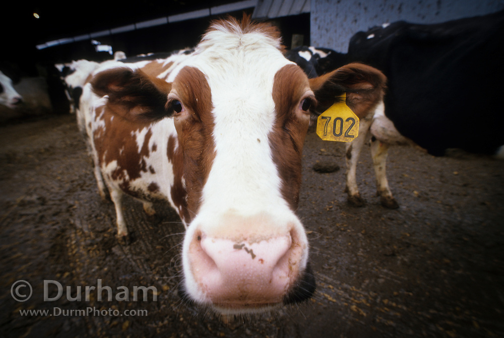 A holstein dairy cow approach near milking barn on Sauvie Island, Oregon.