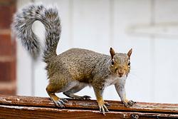 A Grey Squirrel (Scientific name Sciurus Carolinensison) makes its way along a garden fence in a British Suburban Garden<br /> <br />  Copyright Paul David Drabble<br /> 17 July 2019<br />  www.pauldaviddrabble.co.uk
