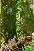 Ñeques / Dasyprocta / Parque Nacional Camino de Cruces, Panamá.<br /> <br /> Edición de 10   Víctor Santamaría.