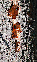 Holes in tree trunk made by a pileated woodpecker, Dryocopus pileatus. Mendocino County, California