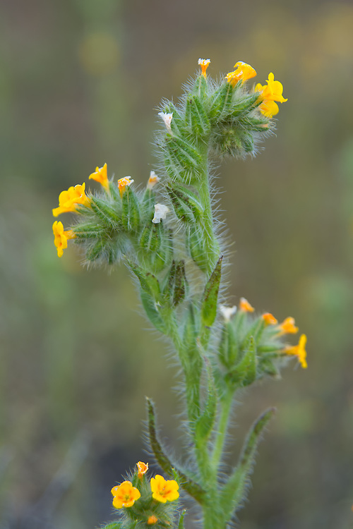 Also known as the tarweed fiddleneck, the bugloss fiddleneck (Amsinckia lycopsoides) is a striking member of the borage family and is primarily found in the Western United States and Canada, but can be found scattered throughout most of the USA except for the Southeast. These were found growing in profusion in sagebrush country, near Whiskey Dick Mountain in rural Kittitas County in central Washington State.