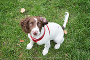 Local dogs in London - this is Roxie, Springer Spaniel Puppy