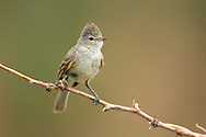 Northern Beardless-Tyrannulet - Camptostoma imberbe