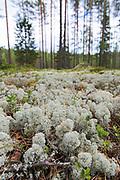 Reindeer lichens Cladonia Stellaris and Cladonia rangiferina on forest floor in pine forest, near Valka, Vidzeme, Latvia Ⓒ Davis Ulands | davisulands.com