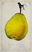 Duchesse d'angouleme pear from Dewey's Pocket Series ' The nurseryman's pocket specimen book : colored from nature : fruits, flowers, ornamental trees, shrubs, roses, &c by Dewey, D. M. (Dellon Marcus), 1819-1889, publisher; Mason, S.F Published in Rochester, NY by D.M. Dewey in 1872