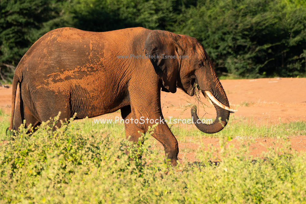 Male African elephant (Loxodonta africana). Elephants are herbivores and are the world's largest and heaviest land animals. Adult females and their young live in large social groups, whereas males lead largely solitary lives. Photographed lake Kariba along the Zambezi river, Zimbabwe.