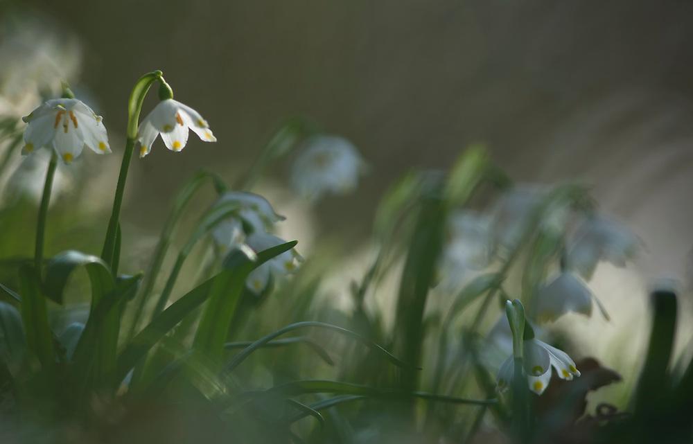 Spring snowflakes, Leucojum vernum L., Haute- Loire, Auvergne, France