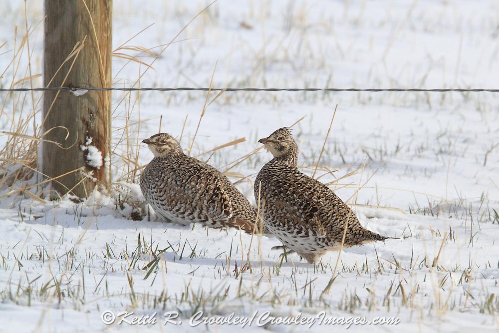 Sharptailed Grouse in Winter habitat