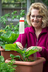 Putting red-spider-mite traps on aubergines plants in the greenhouse. Solanum melongena - Eggplant, Brinjal