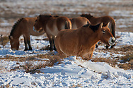 Przewalski's horse, Equus przewalskii or Equus ferus przewalskii, also called the Mongolian wild horse or Dzungarian horse, Kalamaili National Nature Reserve, Xinjiang, China. These individuals rounded up into a feeding enclosure during winter, for reasons of increased survival possibilities for the species. Wild, but in a temporary enclosure over winter.