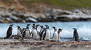 Group of magellanic penguins (Sphreniscus magellanicus) from Saunders Island, the Falkland Islands.