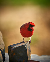 Male Northern Cardinal. Image taken with a Nikon D4 camera and 600 mm f/4 VR lens (ISO 110, 600 mm, f/4, 1/200 sec)