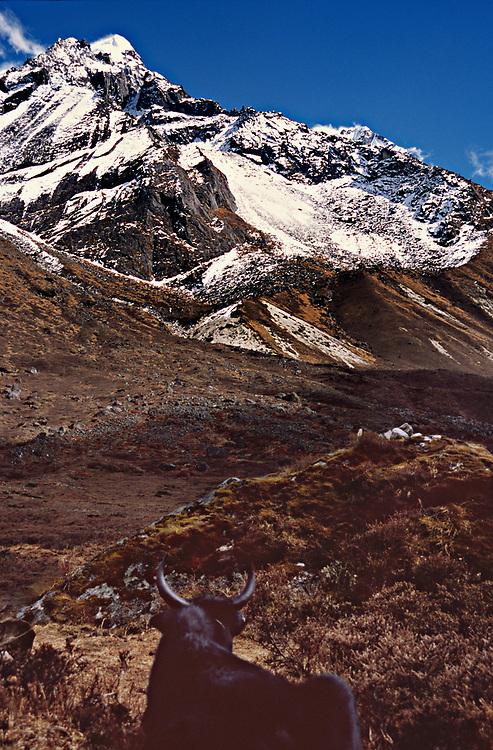 Lamuney campsite, Mt. Pandim valley, yak, Sikkim