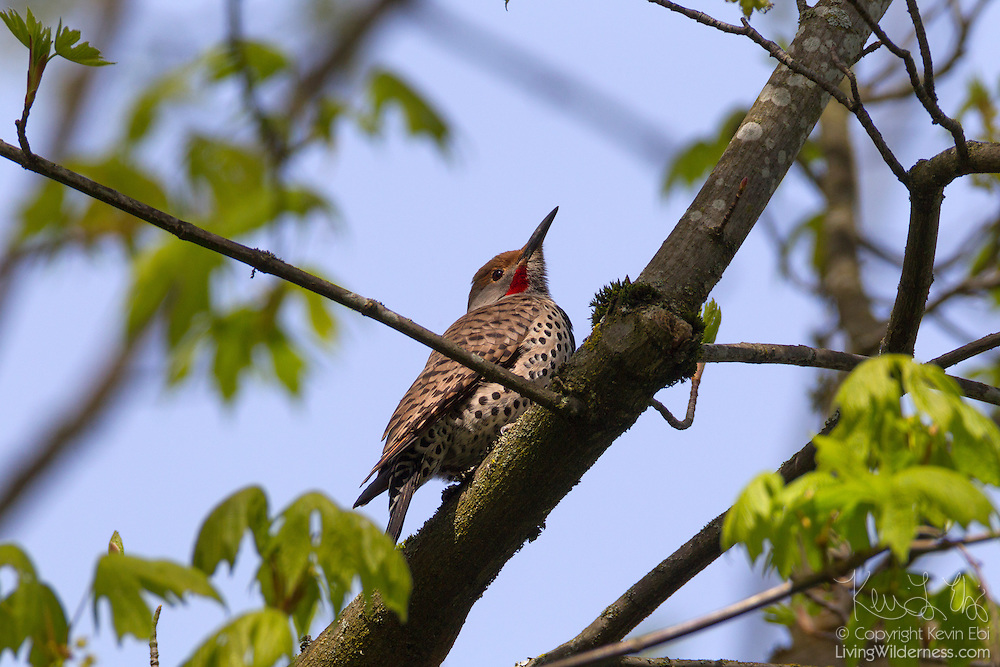A male red-shafted northern flicker (Colaptes auratus) rests in a tree in the wetlands of the Washington Park Arboretum, Seattle, Washington. The red-shafted northern flicker is also known as the western flicker. Flickers are a type of woodpecker. Flickers feed on ants and other insects and are believed to consume more ants than any other North American bird.