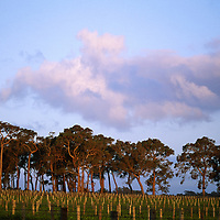 Long view of vineyards at Howard Park  Winery with trees at dusk