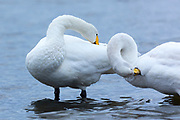 Pair of Whooper Swan, Cygnus cygnus, preening their feathers  and grooming at Welney Wetland Centre, Norfolk, UK