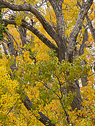 Fall colors of Black Cottonwoods, Populus balsamifera, along the northwest shore of Saint Mary Lake at Rising Sun, Glacier National Park, Montana.