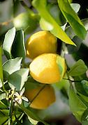 Detail of a lemon tree, Limonde Sul Garda, Lake Garda, Italy