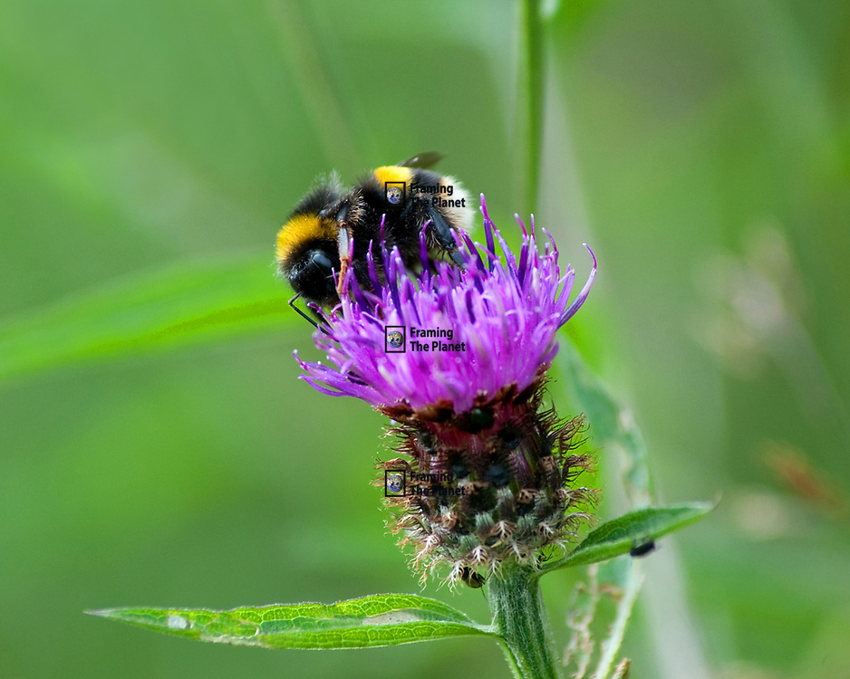 This photo is a macro close up of a honey bee on a thistle flower collecting pollen. There are bright white and yellow stripes across the bees black body with the contrast of the bright purple flower and green background. We can see so much detail in the image including the eyes, legs and wings of this insect.