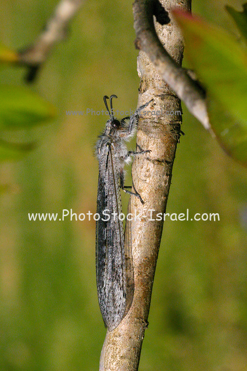 Antlion on a plant. Antlions (family Myrmeleontidae) are flying insects that belong to the same family as lacewings. Their larvae are voracious predators of ants. Photographed in Israel in May