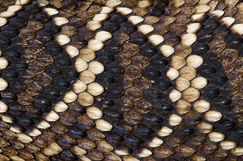 Eastern Diamondback Rattlesnake (Crotalus adamanteus) Body Detail<br /> CAPTIVE<br /> The Orianne Indigo Snake Preserve<br /> Telfair County. Georgia<br /> USA<br /> RANGE: Southern United States