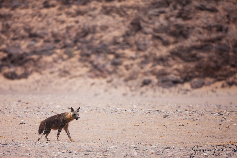 An extremely shy and rare brown hyena (Parahyaena brunnea) makes his way across the arid desert landscape while searching for food on the Skeleton Coast, Skeleton Coast, Namibia,Africa