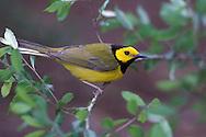Hooded Warbler - Wilsonia citrina - breeding male