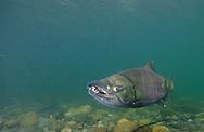 Chum Salmon<br /> <br /> PAUL VECSEI/ENGBRETSON UNDERWATER PHOTO