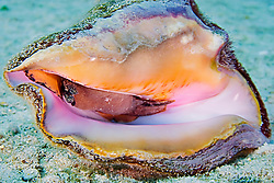 Queen or Pink Conch, Strombus gigas, West End, Grand Bahamas, Caribbean, Atlantic Ocean
