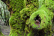 Mushrooms grow in a mossy branch hole in the lush green forest on Cataract Creek Trail, Mount Tamalpais Watershed, Marin County Municipal Water District, California, USA.