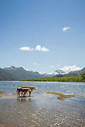 Cows by lake, Northern Patagonian Lake District, Argentina, South America