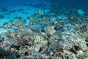 crocodilefish, Cymbacephalus beauforti, <br /> pair camouflaged on coral rubble,<br /> Mabul, off Borneo, Sabah, <br /> Malaysia, ( Celebes Sea )