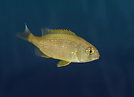 Couch's Sea Bream - Pagrus pagrus