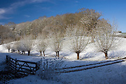 Snow on pollarded Willow trees at Swinbrook in Oxfordshire, England, United Kingdom