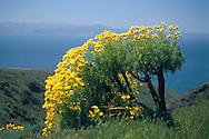 Giant Coreopsis flowers bloom in spring, Santa Cruz Island, Channel Islands, California Giant Coreopsis flowers bloom in spring, Santa Cruz Island, Channel Islands, California