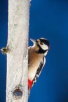 Greater Woodpecker (Dendrocopos major) Korouma, finland