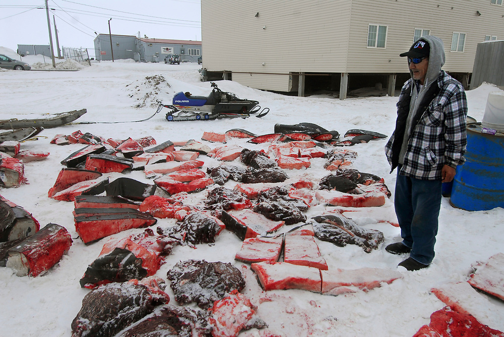 Alaska, Barrow. Captain Patrick Hopson amongst his cut up whale. He harvested a 28 feet whale during 2007 Spring.
