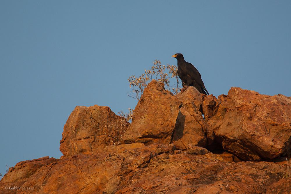 Black eagle, Mapungubwe National Park and World Heritage Site, South Africa, September 2009, Organization for Tropical Studies Trip.