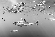 Mexico, Baja California. A great white shark peacefuly swimming in the ocean, with a school of fishes around him at Guadalupe Island.