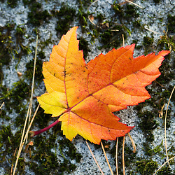 A red maple leaf in fall in Dunstable, Massachusetts.