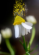 Digitally enhanced image of a Flowering common chamomile (Anthemis cotula) plant. Photographed in Israel in spring in March