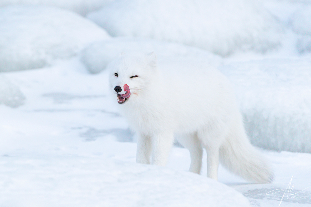 An Arctic Fox seeming smile with a tint of blood near its cheek.