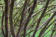 Layers of Vine Maple (Acer circinatum) trunks at Campbell Valley Park in Langley, British Columbia, Canada.