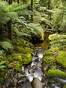 A stream flows through a lush forest on the Tuatapere Hump Ridge Track, in Fiordland National Park, South Island, New Zealand. In 1990, UNESCO honored Te Wahipounamu - South West New Zealand as a World Heritage Area.