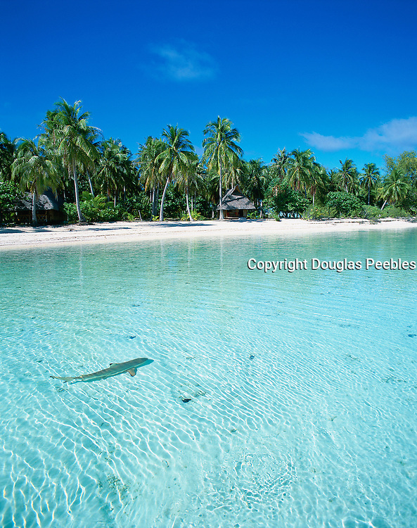 Shark, Kia Ora Sauvage, Rangiroa, French Polynesia<br />