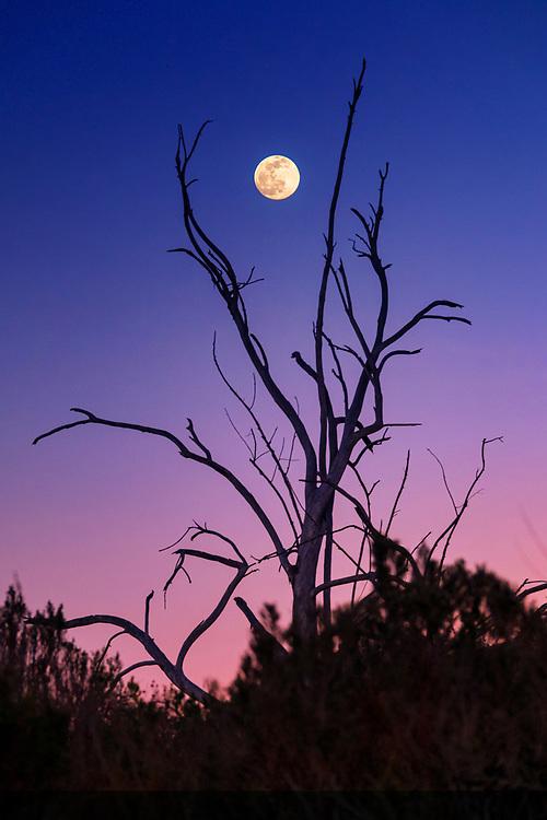 Full Moon framed by tree branches at sunset in San Elijo Lagoon in San Diego, California. ©justinalexanderbartels.com