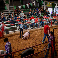 Adrianna Jackson, center, and other competitors show their pigs during the Bi-County Fair Saturday in Prewitt.