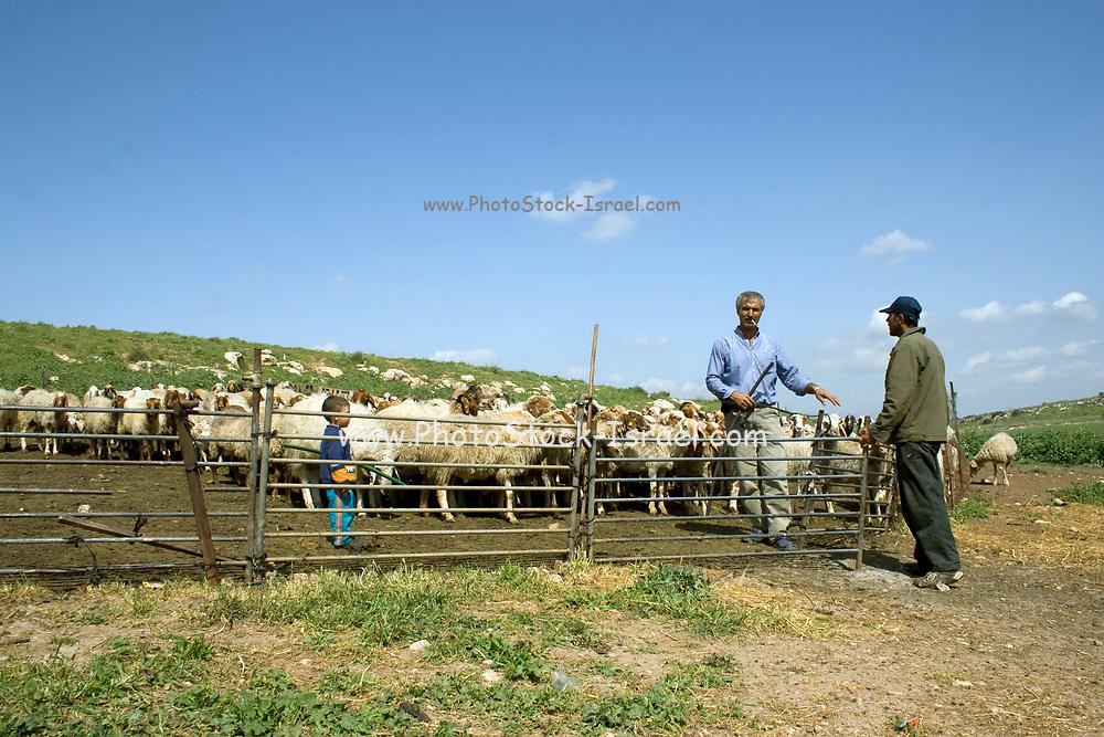Israel, Negev desert, Bedouin shepherd and his herd of sheep