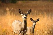 Mule Deer and fawn, Montana.